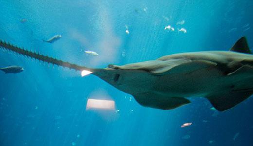 在美国佐治亚州水族馆中游动的锯鳐:研究人员视频记录了人工饲养锯鳐的行为特征,发现事实上它们是令人印象深刻的掠食性鱼类